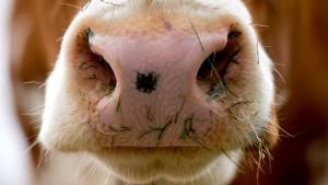 Milchkühe für Qatar