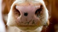 Eine durchschnittliche Kuh wiegt fast 600 Kilogramm.