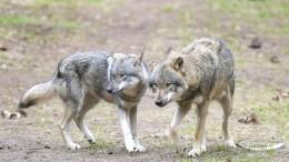 Klöckner fordert gezielten Abschuss von Wölfen