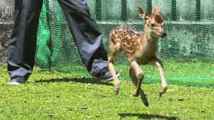 Sika-Hirschkalb im Nara-Park geboren