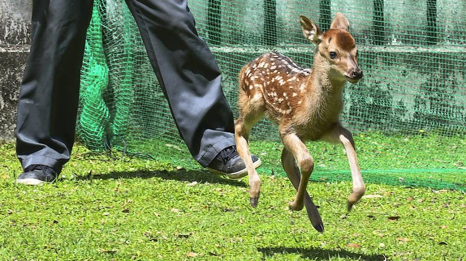 Die ersten Sprünge des Sika-Weibchens im japanischen Nara-Park.