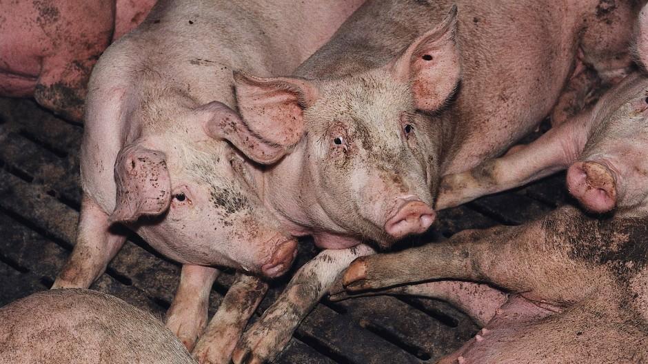 Schweine in einer Massentierhaltung