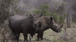 Lauf Rhino, lauf