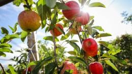 Äpfel fürs Glas und für den Topf