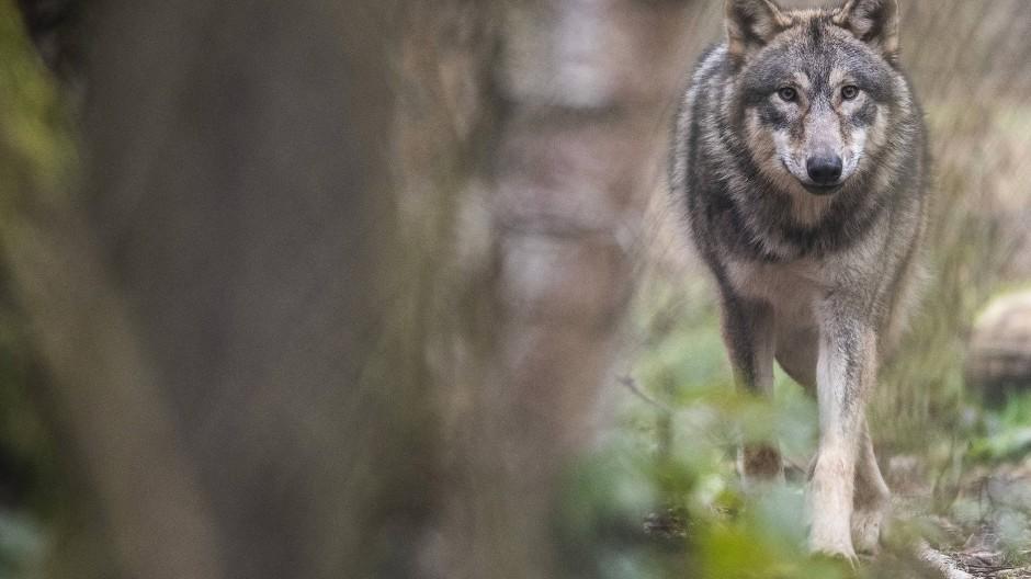 Der weiterentwickelte Plan sieht unter anderem vor, dass Tierhalter im Umfeld von Wölfen in Zukunft mehr Unterstützung beim Herdenschutz erhalten.