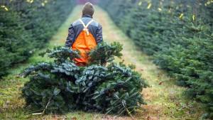 Bis zu 22 Millionen verkaufte Weihnachtsbäume erwartet