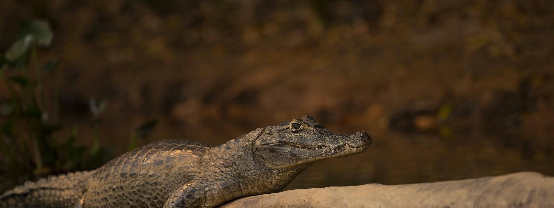 74 Jahre alter Mann befreit Welpen aus dem Maul eines Alligators