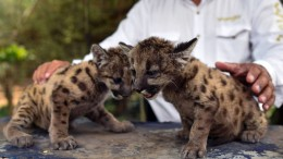 "Puma-Babys namens ""Pandemie"" und ""Quarantäne"""