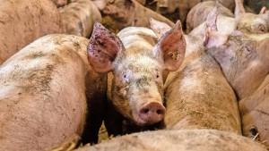 Deutschland hat zu viel Schwein