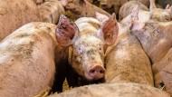 So eine Schweinerei: Geld mit dem Fleisch zu verdienen, wird für Landwirte immer schwieriger.