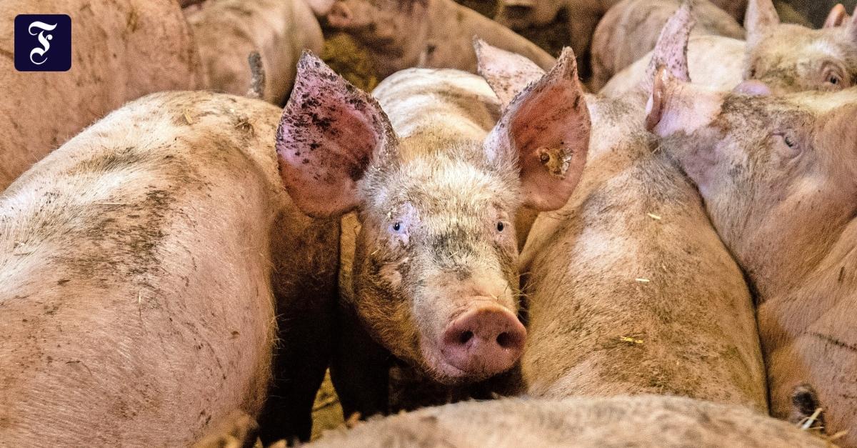 Klöckners Krisengespräch: Deutschland hat zu viel Schwein