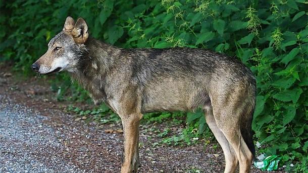 Tote Schafe im Odenwald: Es war ein Wolf
