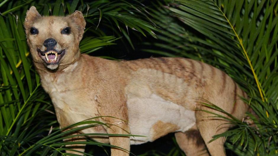 Existiert heute nur noch ausgestopft: der australische Beutelwolf