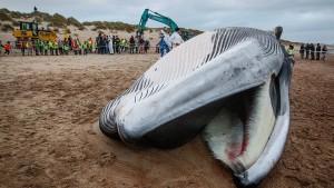 Finnwal auf Mallorca angeschwemmt