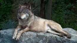 Wie der Wolf seinen Schrecken verliert