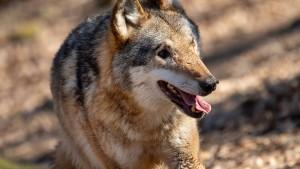 Die Natur des Wolfes