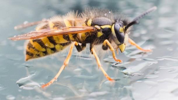 Sind es wirklich mehr Wespen geworden?