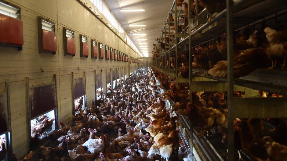 Freilandhaltung: In diesem Stall legen Hühner aus Freilandhaltung ihre Eier ab.