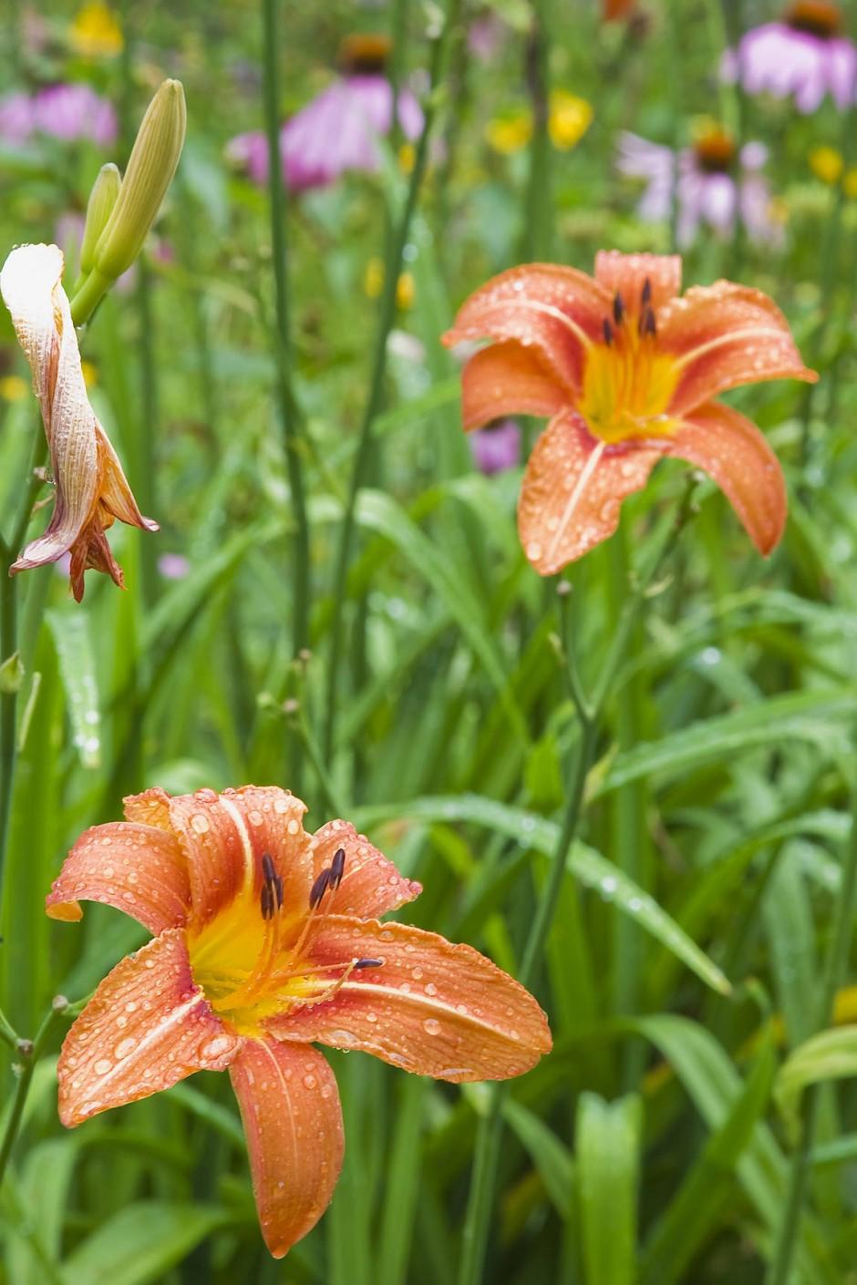 Der zarte Schein trügt: die Taglilie