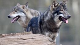 Möglicherweise Mensch in Niedersachsen von Wolf angegriffen