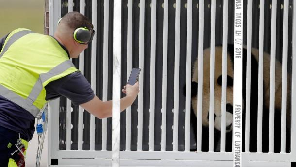"""""""Meng Meng"""" und """"Jiao Qing"""": Pandas in Berlin angekommen"""