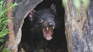 Warum starben Australiens große Raubtiere aus?
