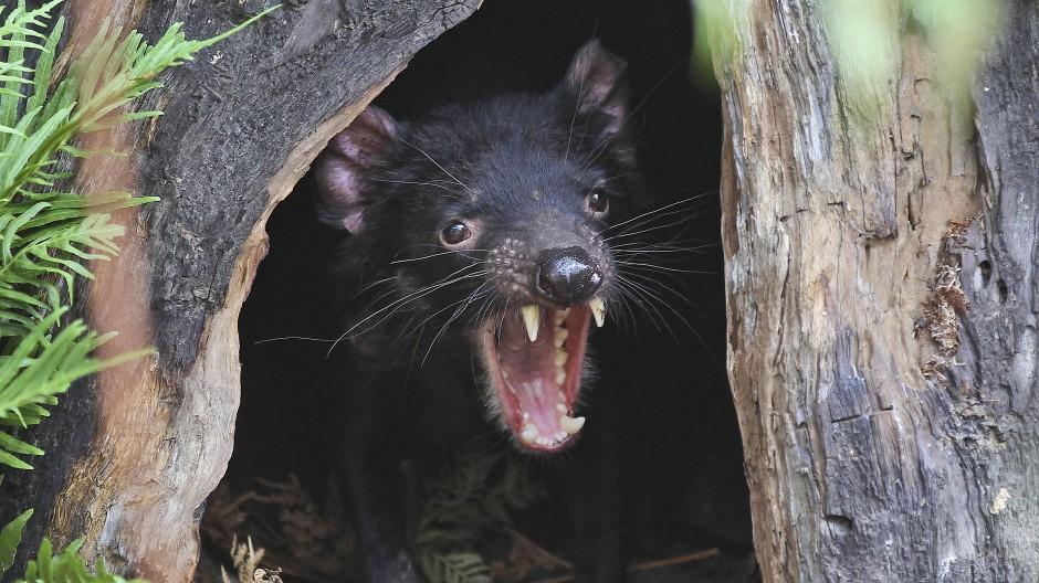 """Während Beutellöwe und Beutelwolf ausgestorben sind, hat der """"Tasmanische Teufel"""" überlebt. Eine bösartige Krebserkrankung macht ihm seit längerem zu schaffen."""