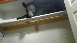 Schwarzbär macht es sich im Schrank gemütlich