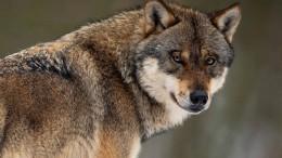 Die AfD will den Wolf jagen