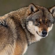 Freund oder Feind? Wolf in einem Gehege im Wildpark Neuhaus