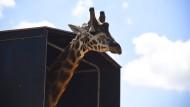 31. März 2015. Umzug. Der Giraffenbulle Shaba schaut recht unbeteiligt aus dem Lastkraftwagen, in dem er reist. Shaba bekommt ein neues Zuhause im National Zoo in Canberra, Australien. Dort erwartet ihn schon die Giraffendame Mzungu.