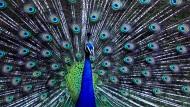 Kannst du nicht hören - schau mir in die Augen Kleines! Der Pfauenhahn wedelt mit seiner Pracht, was die Federn hergeben, und er macht damit ganz gezielt auch jede Menge Lärm.