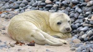 Robbenbabys auf Helgoland verschwunden