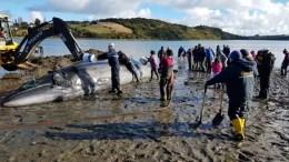 Matrosen retten gestrandeten Wal