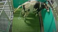 Klimaschutz: Forscher bringen Kühen den Toilettengang bei