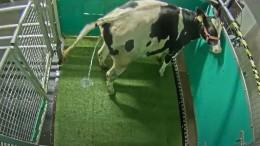 Forscher bringen Kühen den Toilettengang bei
