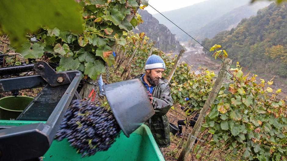 Weinernte auf einem Berg des Weinguts Kriechel:  Tief unten schlängelt sich die Ahr durch das Tal.