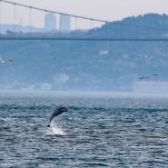 Endlich mal Ruhe: Ein Delphin im Bosporus bei Istanbul