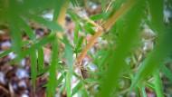 Bambusbüsche sollen die Druckwellen bei einem Bomben-Attentat abschwächen. (Symbolbild)