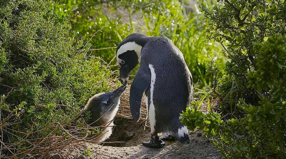 Endlich Muße für eine zweite Brut: Pinguine in Australien