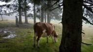 Für die Bauern wird Viehzucht im Wald ein Ding der Unmöglichkeit, wenn sie keine Zäune mehr spannen dürfen