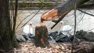 Nagewerk: Auf der Maininsel an der Alten Brücke in Frankfurt hat ein Biber seine unverkennbaren Spuren hinterlassen.