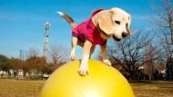 Guinness-Rekord: Schnellster Hund der Welt auf einem Ball