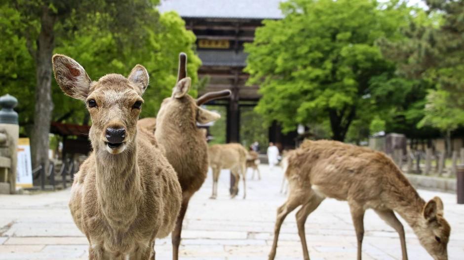 In Nara gelten die Sika-Hirsche als Götterboten.
