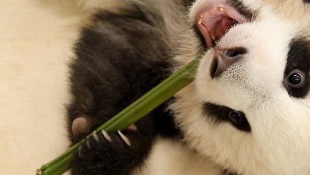 Ein kleiner Schritt für die Großen Pandas