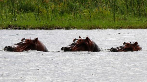 Sambia plant den Abschuss von 2000 Nilpferden