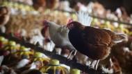 In den Stall gesperrt: Wegen der Vogelgrippe müssen auch Freilandhühner in Hessen bis Februar im Stall bleiben.