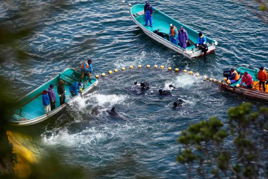 Treibjagd auf Delfine in Taiji
