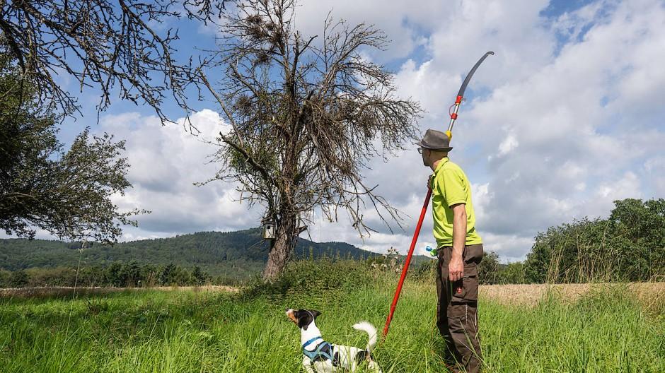 Schadensbegrenzung: Peter Prade vom Obst- und Gartenbauverein Fischbach wird mit der Säge einen fast abgestorbenen Baum von Mistelzweigen befreien.