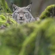 Meiden die Nähe zum Menschen: Außerhalb von Zoos und Tierparks leben Luchse versteckt im dichten Unterholz von Wäldern. (Symbolbild)
